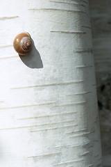 (turquoise monkey) Tags: ricohtls401 kodakportra iso400 takumar55mmf18 tree betula snail amsterdam autumn