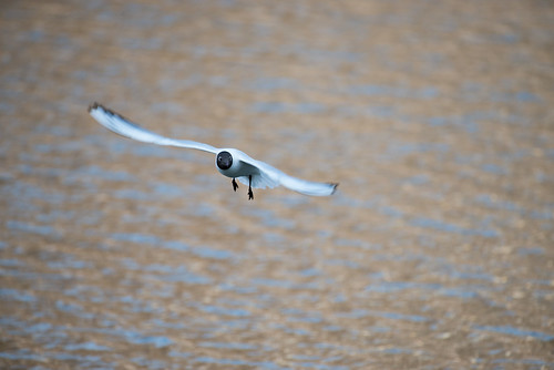 Black-headed gull ©  Andrey