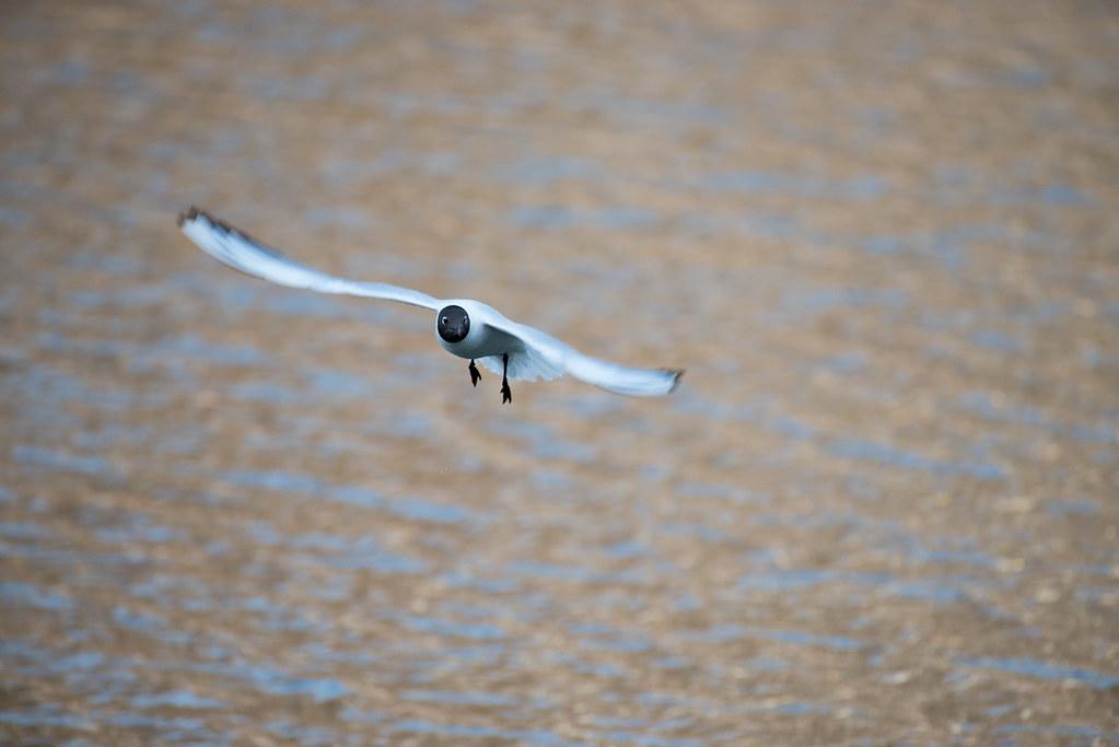 фото: Black-headed gull