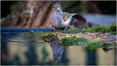 IMG_8659 (Derek.S) Tags: sparrow drinking water reflection