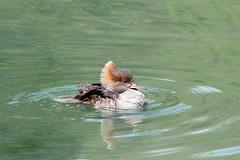 Hooded Merganser (Lophodytes Cucullatus) (RiverCrouchWalker) Tags: lophodytescucullatus hoodedmerganser female arundel arundelwwt ripples water lake bird uk arundelwetlandcentre westsussex may spring 2018
