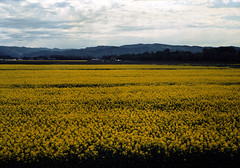 Yellow fields (threepinner) Tags: mamiya universal press sekor 100mm f28 positive selfdeveloped reversal bibai hokkaidou hokkaido northernjapan japan summer canola 美唄 北海道 北日本 日本 菜の花
