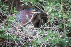 A Little Green (gseloff) Tags: greenheron bird hatchling nest animal wildlife nature horsepenbayou pasadena texas kayak gseloff