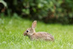 On the hop (Elenovela) Tags: rabbit kaninchen bunny summer sommer wiese gras animal tier olympusem1 olympus50200mmf2835