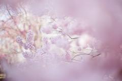 Untitled (けんたま/KENTAMA) Tags: 桜 チョウジザクラ sakura cherryblossoms spring pink garden planart1450 eos6d bokeh pastel