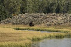 "Moose at Schwabacher's Landing • <a style=""font-size:0.8em;"" href=""http://www.flickr.com/photos/63501323@N07/40827007155/"" target=""_blank"">View on Flickr</a>"