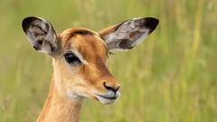 Nairobi-Nationalpark-6629 (ovg2012) Tags: aepycerosmelampus impala kenia kenya nairobi nairobinationalpark safari