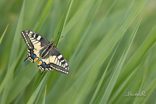 Machaon - Papilio machaon (Capestang, Hérault 34) 30 avril 2018