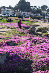 Lovers Point Park #1 (satoshikom) Tags: canoneos6dmarkii canonef100400mmf4556lisiiusm loverspoint loverspointpark beach pacificgrove montereybay monterey weekend iceplant californiacoast