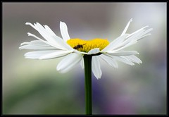 IMG_2856 Photo Bomber 6-11-15 (arkansas traveler) Tags: wasp bichos bugs insects flowers daisy shastadaisy bokeh bokehlicious telephoto zoom nature naturewatcher natureartphotography