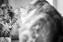 Et le chat vit son reflet dans le miroir... (Kimoufli) Tags: mainecoon maincoon mainecooncat nesquicklemainecoon nesquick nikon d5300 lightroom chat cat gatto gato katz katze kitty kitten cute monochrome noir blanc noiretblanc noirteblanc black white blackandwhite