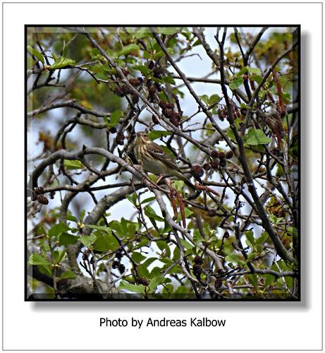 Andreas Kalbow Baumpieper Anthus trivialis 2018.04.27 Große Torfmoor (7)