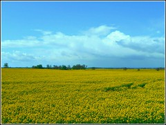 Blue and Yellow... (** Janets Photos **) Tags: uk eastyorkshire fields crops rapeseed yellow blue