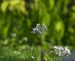 (:Linda:) Tags: germany thuringia village bürden garden mygarden cuckooflower