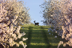 Among the Blossoms (celtboy) Tags: deer nature apple blossom moravia