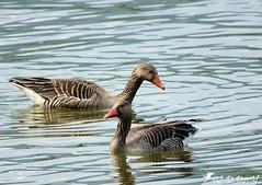Oies cendrées (jean-daniel david) Tags: oiseau oiseaudeau réservenaturelle nature lac lacdeneuchâtel yverdonlesbains reflet duo couple closeup grosplan