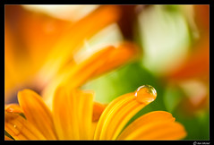 Single Droplet (Ken Mickel) Tags: dewdrop dewdrops floral flower flowers flowersplants kenmickelphotography macro misc natural plants waterdrop waterdrops blossom blossoms botanical closeup daisy flora nature photography upclose