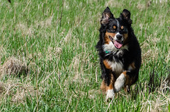 Wide open meadow! (NetAgra) Tags: jilly woods danecounty aussie clouds indianlakecountypark sun australianshepherd meadow trees wisconsin dog sky green rainwater blue canine nature