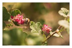Let's get started !! (marionrosengarten) Tags: spring sun light bee bublebee blossoms flowers nature green leafy dof bokeh finally nikon zoom redfloweringcurrant blutjohannisbeere blüten rot rosa pink colours colourful nikon50mmf18 farben