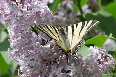 P1007428_b (daniellelallemand) Tags: flambé papilon lumixg9