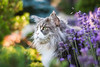 Lavender (Karolina Demczuk) Tags: cat maine coon mco fluffy longhair pet animal portrait blue tabby eyes fun outdoors nature grass tree field forest flowers lavender garden