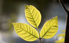 let us hope .. (ByotA .... OFF) Tags: leaf leaves light hope reflections omar byota canoneosrebelt6i 2018 music classic baroque antoniovivaldi