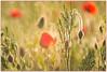 dreaming of a Summer morning (Make our PLANET great again !) Tags: flower champ field coquelicots poppies été summer pluie rain soleil sun gouttes drops trioplan nikon