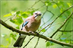 Jay (GaseousClay1) Tags: jay garrulusglandarius avian bird nature wildlife northwaleswildlifetrust plumage habitat gaig skovskade eichelhäher arrendajocomún närhi geaideschênes ghiandaia gaai nøtteskrike gaio nötskrika сойка