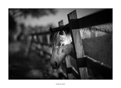 My name's Elvis and I seem to be caught in a trap... (AnthonyCNeill) Tags: horse pferd caballo cheval black white blanc noir blanco negro schwarz weiss outdoor fence field shallowdepthoffield shallowdof evening shadows pony equine equestrian nikon d750 85mm f14 picture frame bokeh
