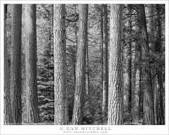 Forest Scene (G Dan Mitchell) Tags: conifer tree trunk grove forest scene yosemite valley national park sierra nevada nature landscape tall afternoon light blackandwhite monochrome california usa north america