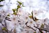 _DSC5011_82 (GaleXV) Tags: outdoor sony a6300 sakura cherryblossom highpark highparktoronto toronto spring