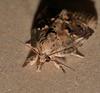 long snout wooly leg eye moth Selepa discigera Sarrothripinae Nolidae Airlie Beach rainforest P1290065 (Steve & Alison1) Tags: long snout wooly leg eye moth selepa discigera sarrothripinae nolidae airlie beach rainforest