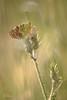 Aurantia 16353 (philippe.poussibet) Tags: avignon mélitéedesscabieuses gps438937954901887