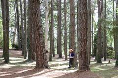 Pine plantation & White Gum (Eucalyptus viminalis) (Poytr) Tags: eucalyptus eucalyptusviminalis white gum whitegum ribbongum myrtaceae pinusradiata forest tree breenholdgardens mountwilson nsw australia bluemountains plantation chensmallbird wood park girl woman people pinaceae pinus