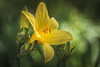 feel it (hploeckl) Tags: lily bokeh projection yellow flower spring vintage mood moody dof feeling artistic