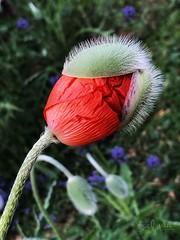 """Birth of a Poppy Flower"" (Bill J Webb) Tags: redmatrix"
