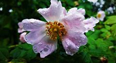Esőtől csillogó vadrózsa (Szombathely) (milankalman) Tags: eglantine flower pink spring rain nature