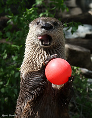 234A2964.jpg (Mark Dumont) Tags: animals cincinnati dumont mammal mark otter river zoo
