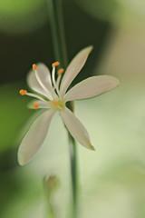 Untitled (AMoska) Tags: natureza nature flora flores flowers macro lensbaby floralfantasy