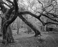Standing Tree and Leaning Tree (Hyons Wood) (Jonathan Carr) Tags: ancientwoodland largeformat w black white monochrome 4x5 5x4 toyo45a rural northeast trees oak