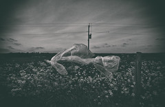Blowin' In The Wind (nigdawphotography) Tags: plasticbag plastic barbedwire fence field farm arable blackandwhite trimmsgreen essex