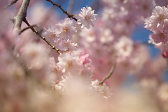 Pink! (jasohill) Tags: 2018 glow spring flowers tohoku blossom fierce iwate sakura sunset city photography beautiful shidare pink matsuo life tree hachimantai cherry rain japan fire