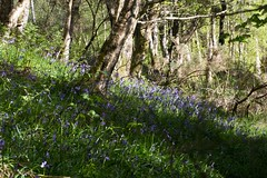 bluebell wood (MaggyN) Tags: bluebells