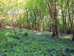 Blooming Woodland (Antony Zacharias) Tags: warm forest woodland bluebells green gold greenery spring springtime season trees foliage ferns natural landscapes nature