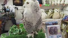 Elsa,the snowy owl (billnbenj) Tags: barrow cumbria video owl snowyowl raptor birdofprey