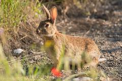 Lapin de garenne Oryctolagus cuniculus (Julien Ruiz) Tags: lapin de garenne oryctolagus cuniculus