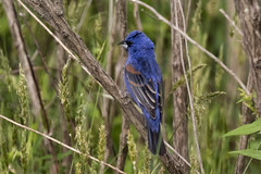 Blue Grosbeak...6O3A1428CR2A (dklaughman) Tags: grosbeak bird bombayhooknwr delaware
