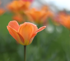 IMG_7507 (LiseHH) Tags: flora flowers flower dof depthoffield insp canon760d canon orange tullip tulipaner todays best todaysbest nofilter