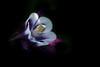 Columbine (christophe.laigle) Tags: christophelaigle fleur macro ancolie nature flower fuji columbine macromondays xpro2 xf60mm lowkey