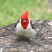RED-CRESTED CARDINAL (4-23-2018) kokee state park, kauai co, hawaii  (5)